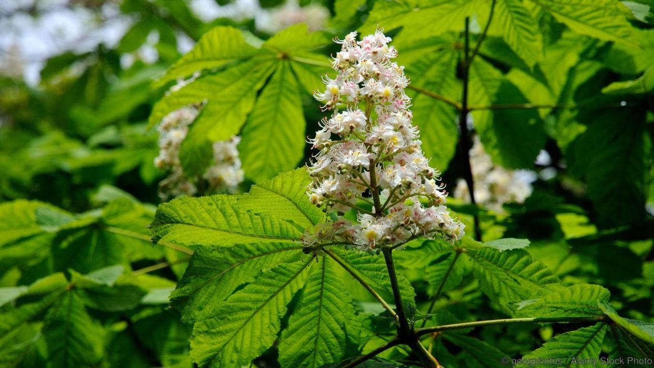 Flowering Horse Chestnut tree in English woodland. Image shot 2009. Exact date unknown.