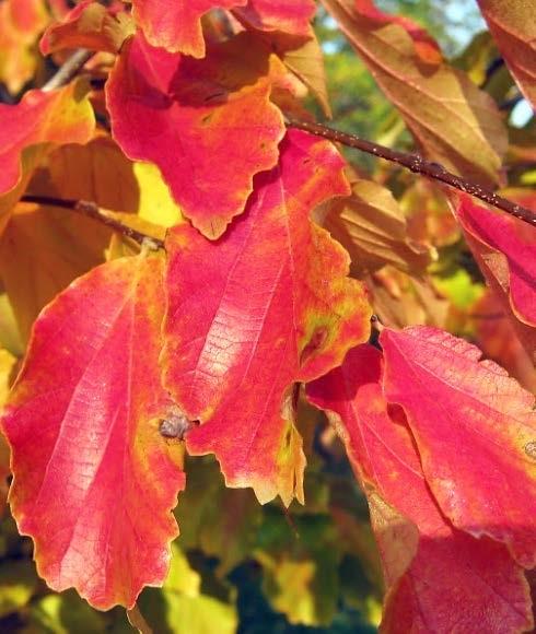 A perzsafa őszi, impozáns lombszíne (1)