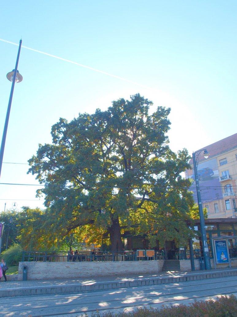 Erzsébet emlékfa