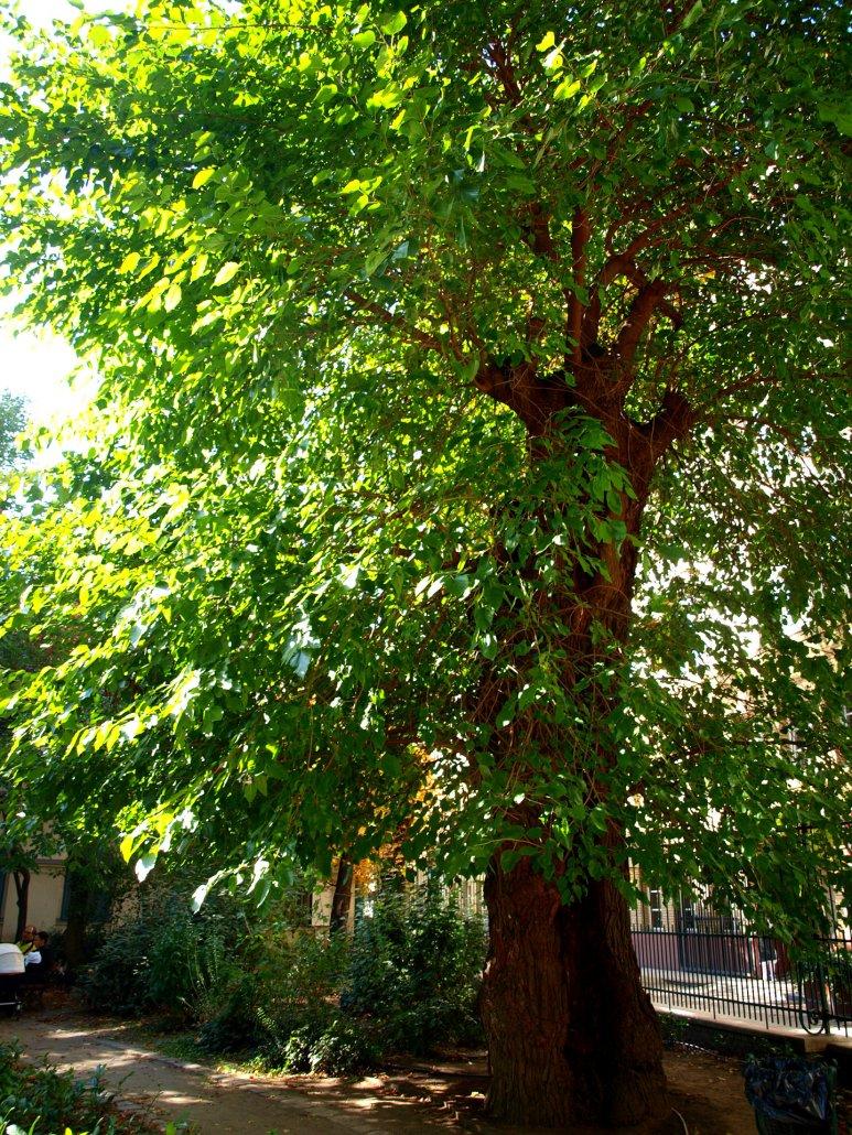 Eper fa Károlyi kert