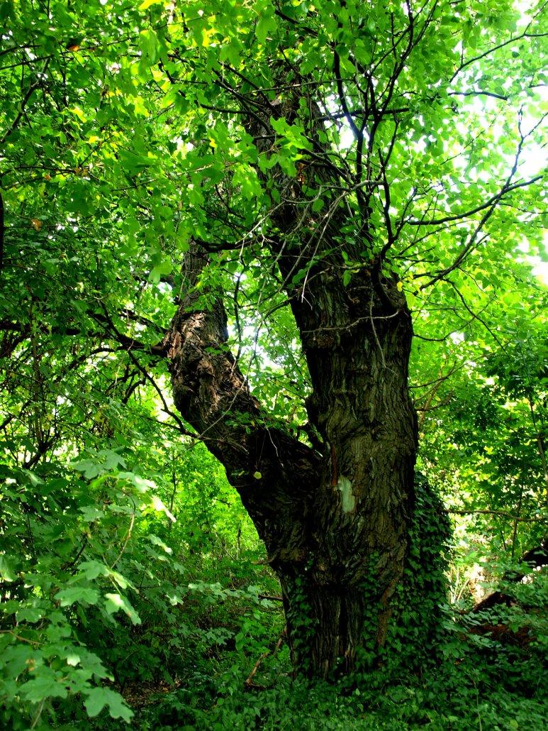 Mártonfa utcai eperfa