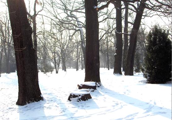 A csoportból utoljára elpusztult két fa tuskóját figyelhetjük meg, 2010. január (1)