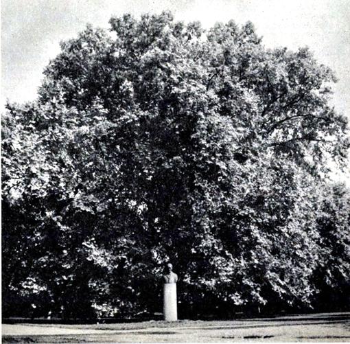 Ősplatán, 1937 (511)