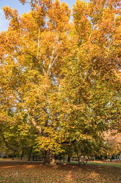 Az ősplatán csodálatos őszi pompájában, 2015 november (90)