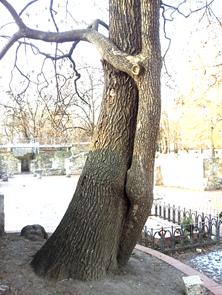 """Az """"ölelkező fák"""", 2012 (1)"""