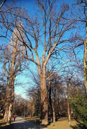 A bemutatott kocsányos tölgy téli állapotában, 2020 február (1)