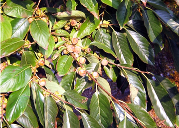 Diospyros lotus bőrnemű levele és termései (1)
