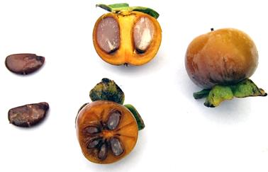 A lótusz szilva zöld húsa sárgásbarnára (majd idővel kékesfeketére) érik (1)