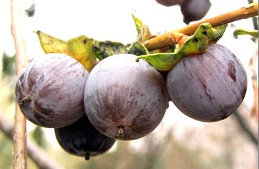 A lótusz szilva érett termései (1)
