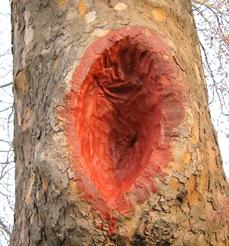 Az első fasebészeti beavatkozás a b jelzésű fán, 2011 (1)