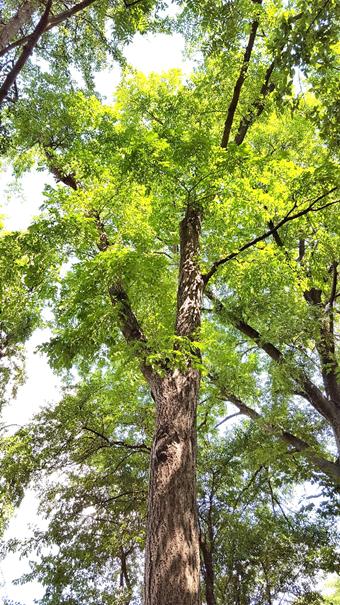 A nevezetes amuri parásfa 2017-ben (1)