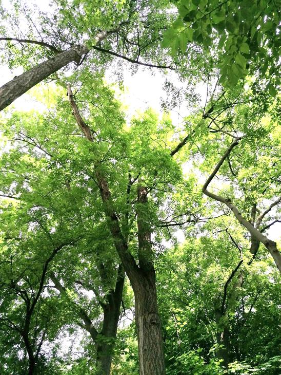 A nevezetes amuri parásfa koronájának állapota, 2020 június (1)