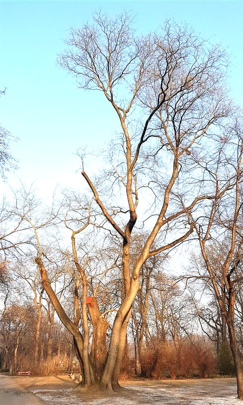 A nevezetes fa, nem sokkal a faápolás után, 2017. január (1)