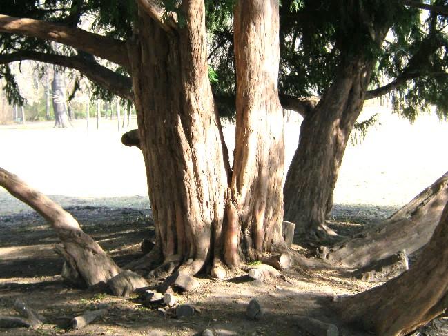 A tövétől ágas fa, idős törzsei, 2012 (1)