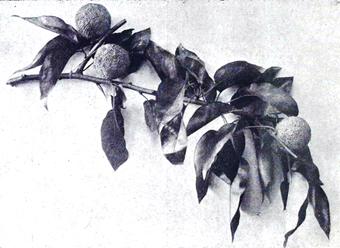 """""""Maclura aurantiaca termésága a Margitszigetröl. A »K. L.« eredeti fénykép-felvétele"""" (99)"""