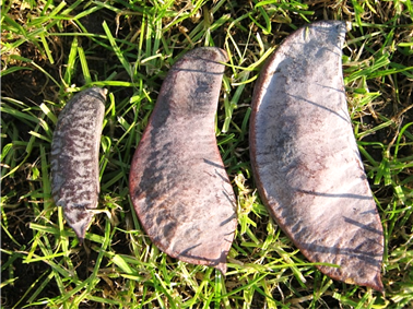 Gymnocladus dioicus hüvelytermése (1)