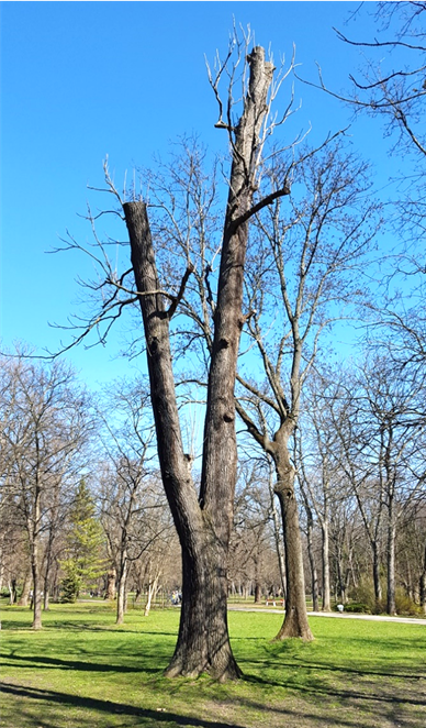 Az ifjított, öreg vasfa példány 2016 (1)