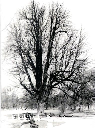 A sérült vázágú vadgesztenye az 1960-as években (2)