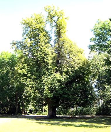A fa csökkent lombfelülettel, 2012 tavaszán (1)