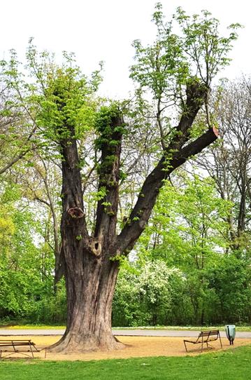 Az öreg vadgesztenye csonkolt vázágai, 2016 tavaszán (1)