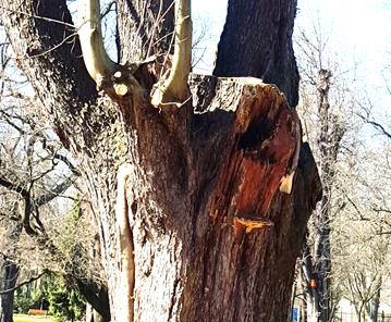 A fa korona-alapja, a 2012-ben letört vázág odvas helye, 2016 (1)