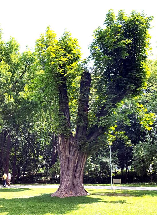 A közel két évszázados, vastagtörzsű vadgesztenye a Rendőrségi táblában, az újonnan kialakított fahelyén, 2017 nyarán (1)