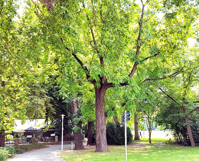 """Előtérben a három közül a """"legjobb"""" állapotú fa (1)"""