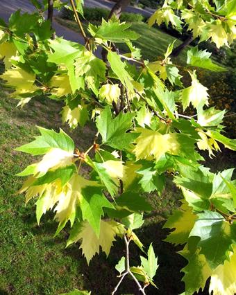 A különleges fa levelei, lomfakadás után (1)