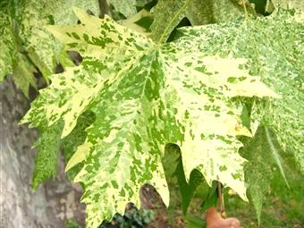 Platanus x acerifolia 'Suttneri' idősebb levele (1)