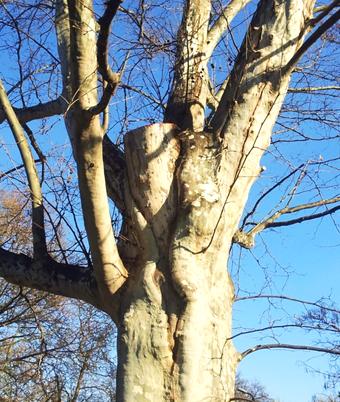 Az igen rossz állapotú fa súlyos koronaalap betegsége, a 2012-es ifjítás után (1)