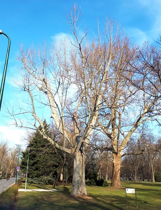 Tarka levelű platán a faápolás után, 2020 február (1)