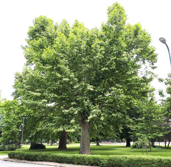 A nevezetes tarka levelű platán, 2020 június (1)