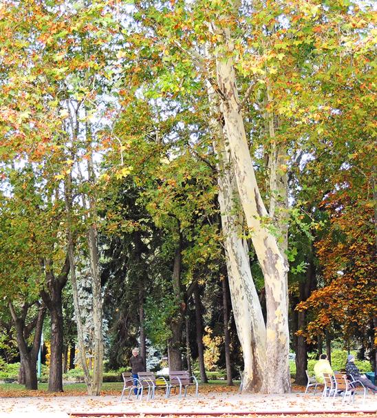 A fotó bal oldalán látható a társainál jóval fiatalabb platán. A platáncsoportból - a többi egyeddel ellentétben – ennek a két fának törzsei szinte teljesen függőleges állásúak, 2013.11.04. (83)