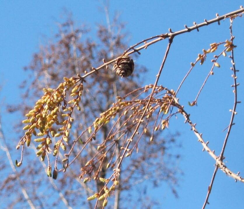 Ága, jellegzetes átellenes rügyeivel, virágzatával és egy tobozával (1)