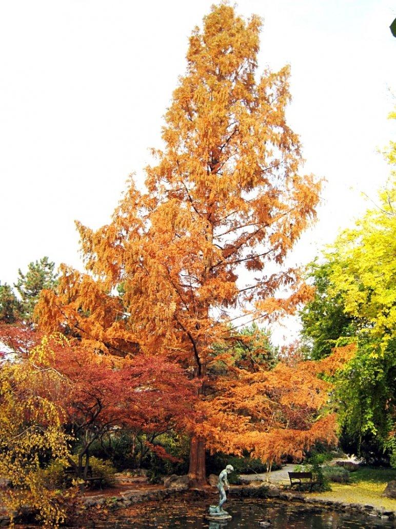 A három japánkerti Metasequoia glyptostroboides egyike, őszi színpompában, 2012 (1)
