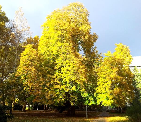 A bemutatott hatalmas bokrétafa a Szanatóriumkertben, déli irányból, teljes őszi lombszínpompában, 2012, november eleje (1)