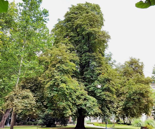 A nevezetes bokrétafa, 2017 nyarán (1)