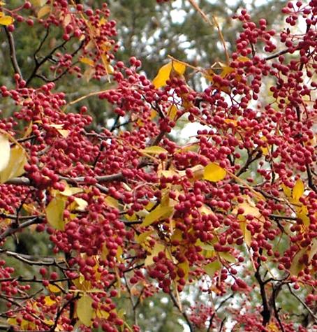 A kínai bors termése, 2008 (1)