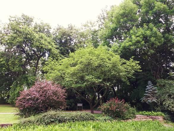 A nevezetes kínai tüskéssárgafa, 2020 június (1)