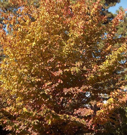 A perzsafa késő őszi lombszíne, 2011.11.03 (1)