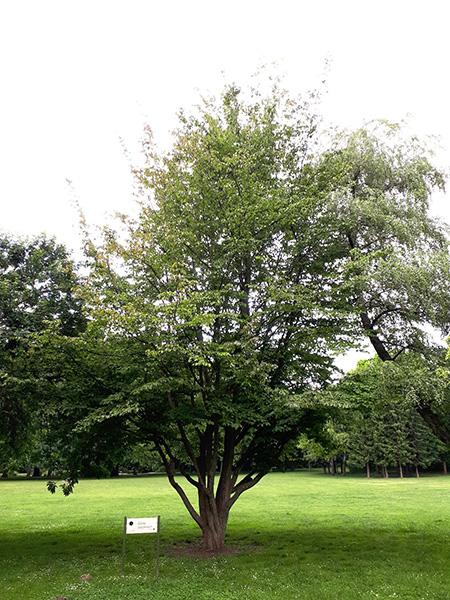 A nevezetes Perzsa varázsfa, 2020 június (1)
