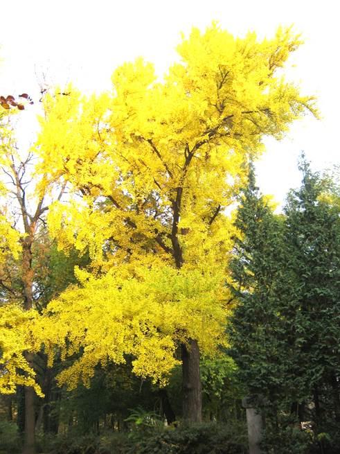A bemutatott fa szép, ragyogó sárga, őszi lombszíne, 2011 (1)