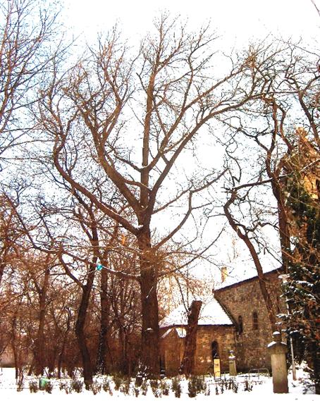 A Szent Mihály kápolna melletti Ginkgo biloba habitusa, 2009 (1)