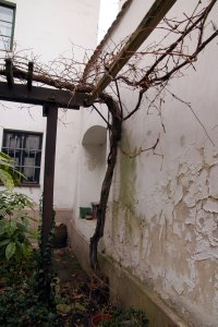 A védett szőlőtőke tekintélyes körmérettel rendelkező törzse