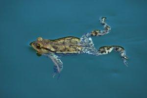 A védett barna varangy jellegzetes faja a Naplás-tónak
