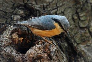 Az idős erdőfoltok egyik leggyakoribb költőfaja a csúszka