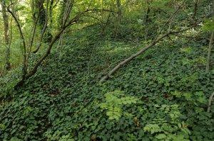 A terület egyes részeinek aljnövényzetében a borostyán (Hedera helix) az egyeduralkodó.