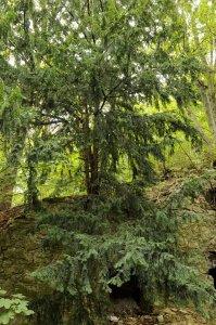 A hajdani kertkultúra jelenlétére utalnak az erdőben megbújó hatalmas tiszafák (Taxus baccata).