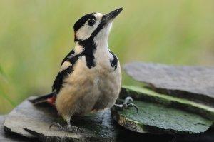 A nagy fakopáncs (Dendrocopos major) több párja is fészkel itt.