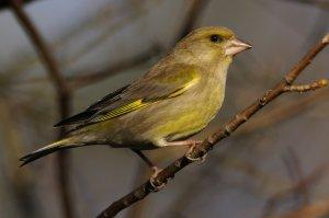 A zöldike (Carduelis chloris) az egyik legszebb madár, mellyel a területen találkozhatunk.